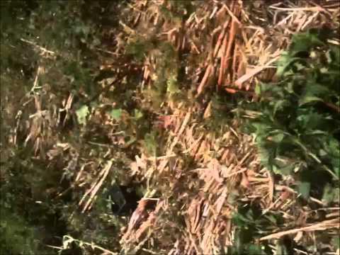 UK Guerilla Grow 2011 - Durban Seedlings