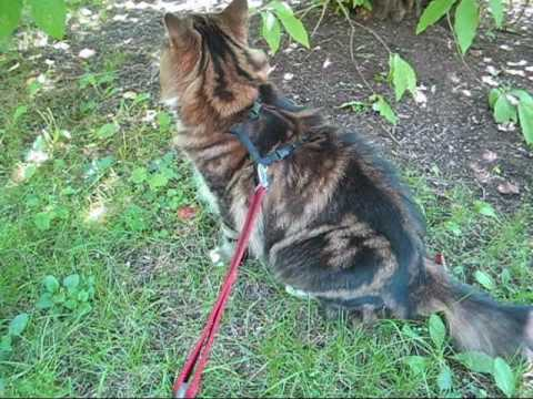 Bringing a Maine Coon for a walk outside