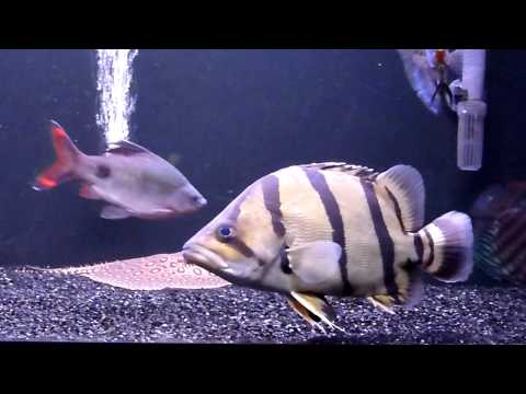RENA 450 AQUARIUM - STINGRAYS, DATNIOIDES, CATFISH, DISCUS, SNAKEHEAD ETC...