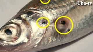 Заболевания рыб. Uha-tv