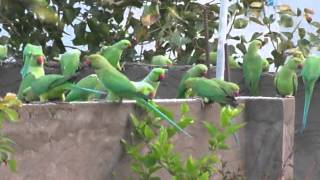 parrots in hyderabad (TG)