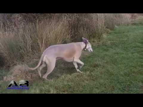 Whippet Day Out