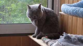 Британский кот умывается. Чистюля!!!
