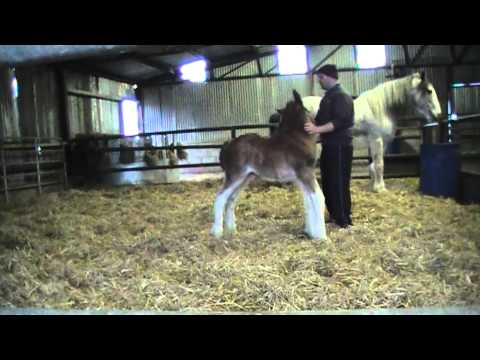 CUTEST FOAL EVER - Oak Grove Frank the Clydesdale Foal