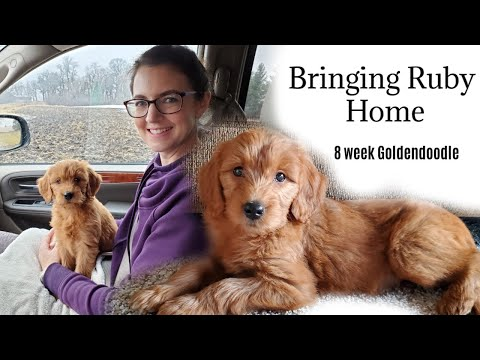 Bringing Home Our Goldendoodle Puppy | 8 week old Goldendoodle