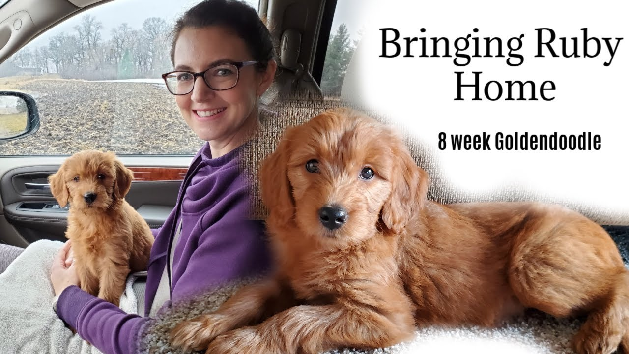 Bringing Home Our Goldendoodle Puppy 8 Week Old Goldendoodle