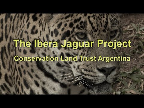 The Iberá Jaguar Project