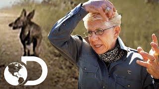 Bicho estranho mata os animais na fazenda | Histórias Inacreditáveis | Discovery Brasil