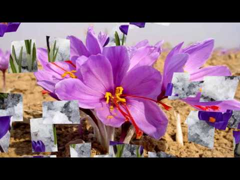 Saffron flower (HD1080p)