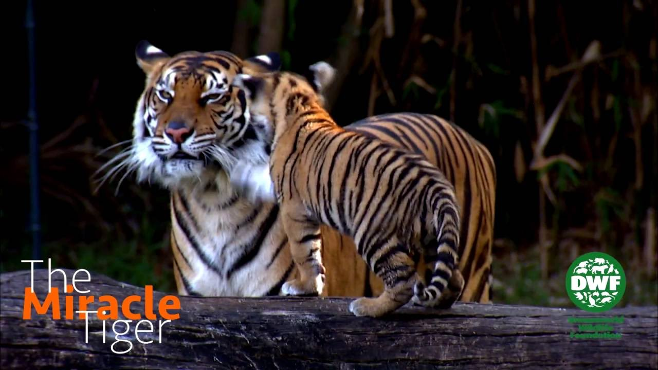 tiger - photo #28