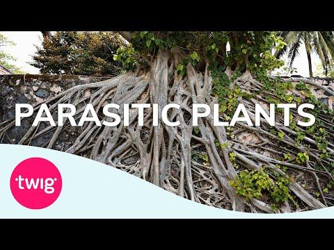 Biology Lesson Idea: Parasitic Plants