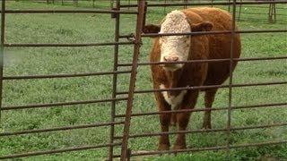 Vaca louca nos EUA