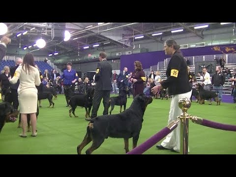 Rottweiler Westminster dog show on 13th February 2018 a
