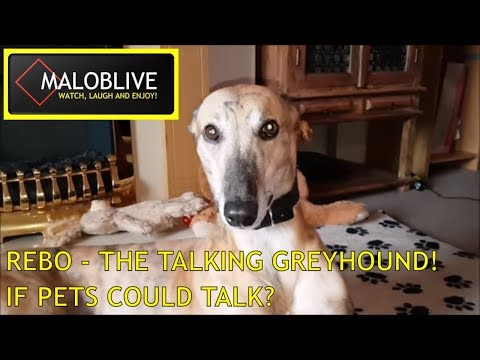 REBO THE TALKING GREYHOUND!
