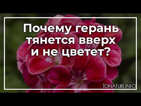 Почему герань тянется вверх и не цветет? | toNature.Info