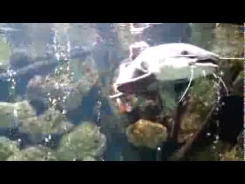 Amazon Apocalypse - How to Catch a Red-Tailed Catfish | River Monsters from YouTube · Duration:  2 minutes 5 seconds  · 33,000+ views · uploaded on 4/8/2014 · uploaded by Animal Planet