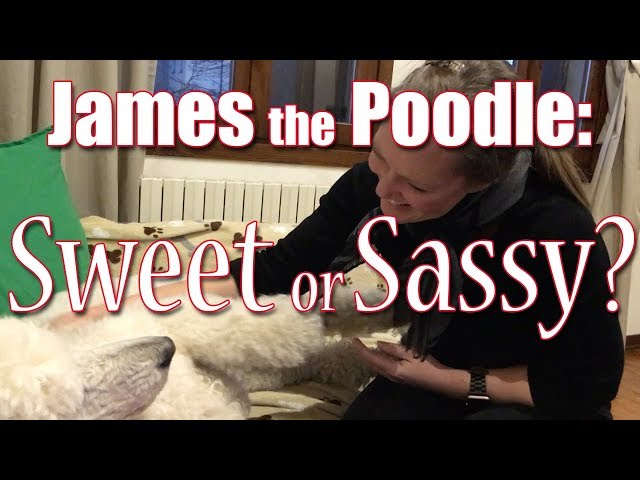 James the Poodle:  Sweet or Sassy?