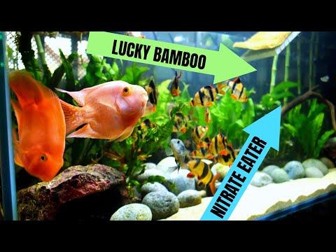 Growing LUCKY BAMBOO In AQUARIUM??