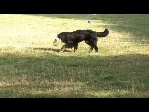 Bernese Mountain Dog Murphy. x