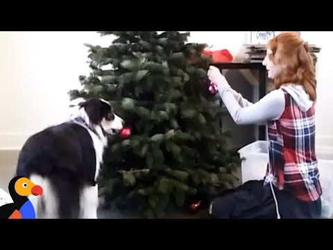 Smart Dog Decorates Christmas Tree | The Dodo