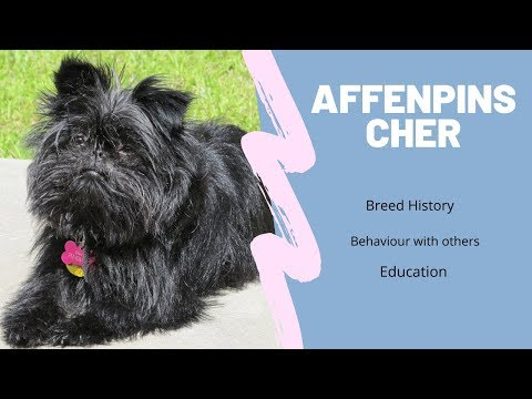 Affenpinscher Breed History , Behaviour with others & Education