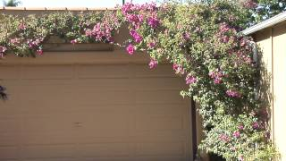 How to Train Bougainvillea : Great Gardening