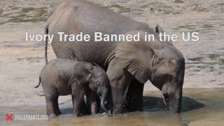 Ivory Trade Banned in the US | 96 Elephants