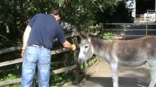 Approaching the nervous or unhandled donkey