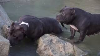 Check out these curiously american bullies