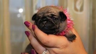Щенки мопса. Pug puppies