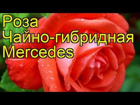 Роза чайно-гибридная Мерседес. Краткий обзор, описание характеристик, где купить саженцы Merсedes