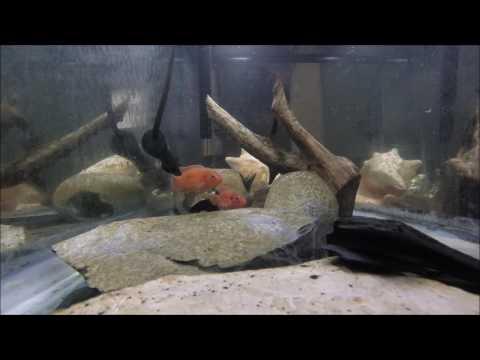 55 Gallon Jewel Cichlid Tank