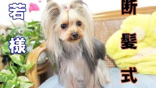 【ヨークシャーテリア専門犬舎チャオカーネ】 ずっと伸ばしていたコート...