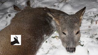 Deer hunt with a rifle - Polowanie na sarny