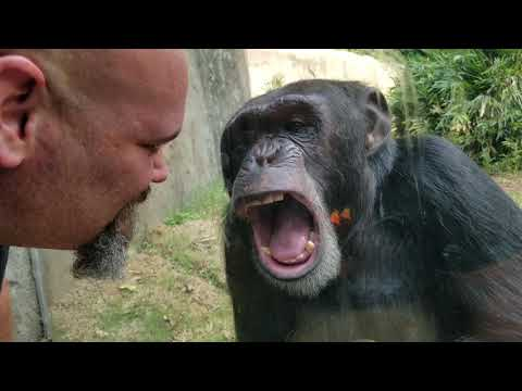 Chimpanzee interaction at Asheboro NC Zoo
