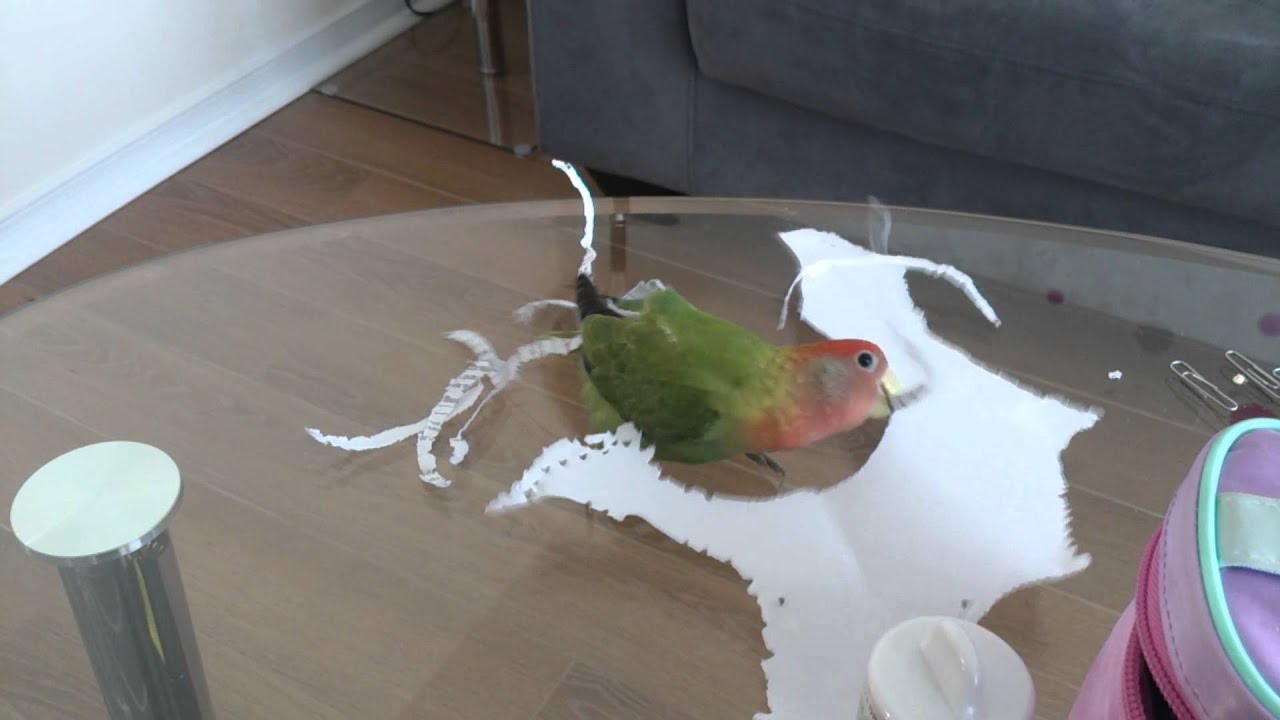 Funny Lovebird Trick Hole Punches Paper Then Flies Off