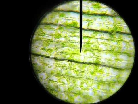Real plant cell under microscope labelled