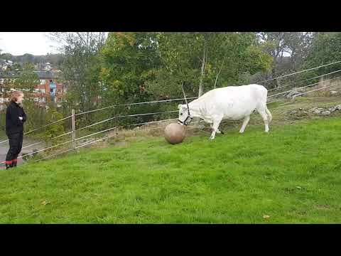 David Black - Watch This Cow Play Fetch