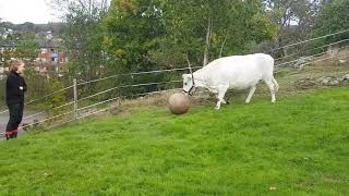 Cow plays fetch - 1005400