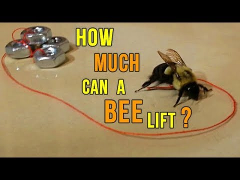 How Much Can A Bumble Bee Lift Youtube