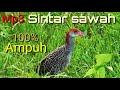 100% Ampuh Untuk Pemikat Burung Sintar  Beker Sawahrawa