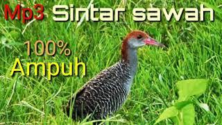Download lagu 100 Ampuh untuk pemikat burung sintar Beker sawah rawa MP3