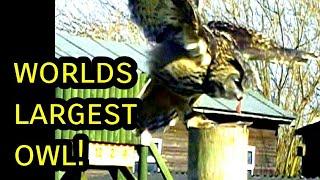 Worlds largest Owl (Eurasian Eagle Owl) in flight