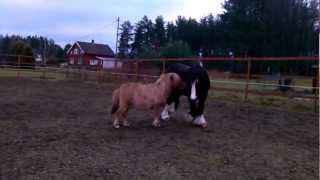 Funny Horses. Small Pony And Big Horse Are Playing Together.