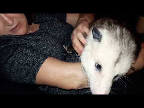 Alex the opossum wants to be pet.