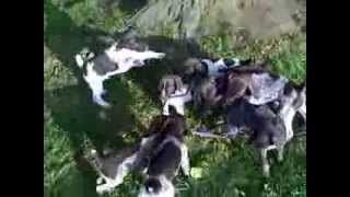 German Shorthaired Pointer Puppies (2011 Mickey / Stormy Litter, Last Litter Video)