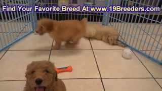 GoldenDoodle, Puppies, For, Sale, in, Mobile, County, Alabama, AL, Huntsville, Morgan, Calhoun, Etow