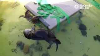 Saving Sea Otter 696: Meeting Mom