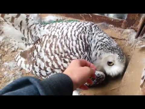 Полярная сова на кладке