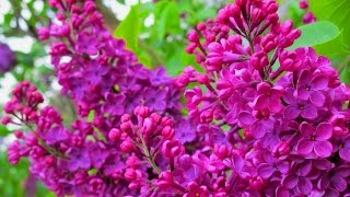 Сирень (лат. Syrínga). Цветы сирени